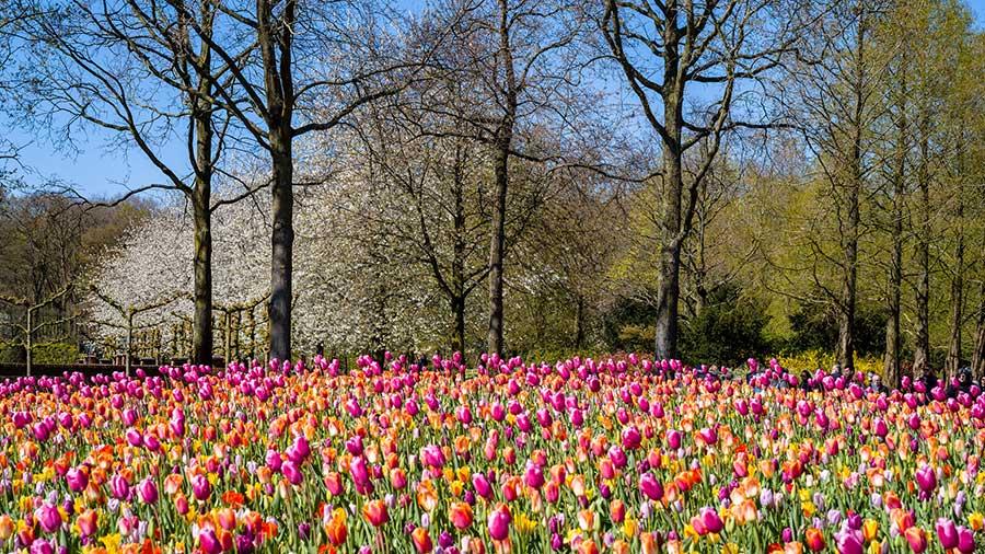Tulipani parco Keukenhof