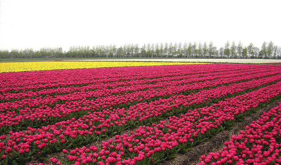 Tulipani a Noordoostpolder
