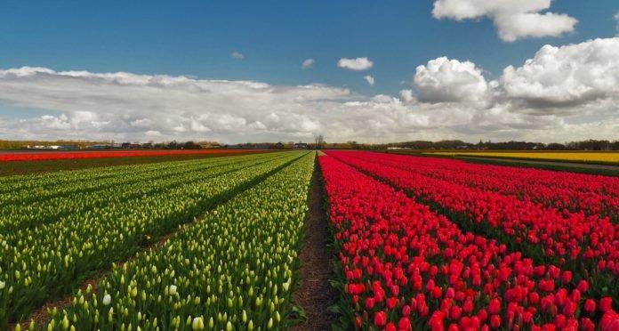 Tulipani in Olanda